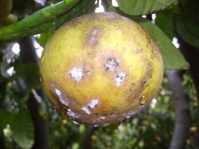 Le malattie delle piante come riconoscerle e rimedi for Malattie del limone