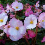 Cosa bisogna sapere per coltivare le begonie?