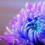 Tutti i segreti per coltivare i crisantemi
