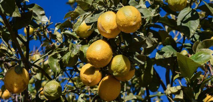 come coltivare limone in vaso