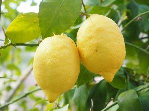 coltivare limone in vaso