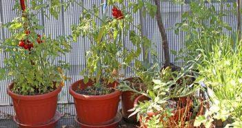 coltivare i pomodori in vaso
