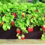 Come coltivare le fragole in vaso?