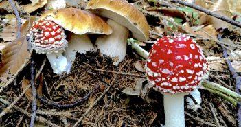 funghi velenosi foto evidenza