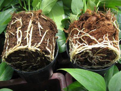 proteggere le radici in inverno foto testo