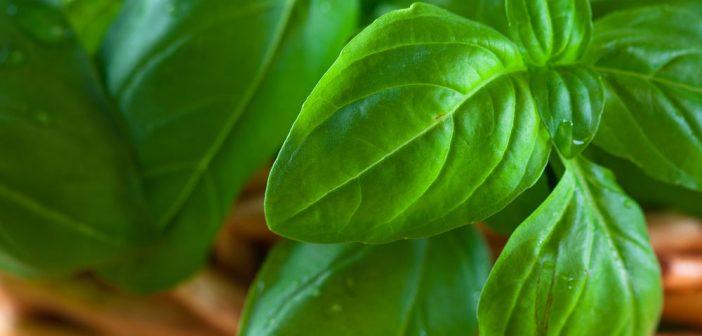basilico coltivato in vaso