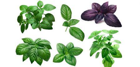 varieta di basilico