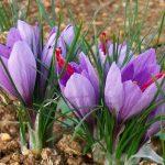 Come coltivare lo zafferano nel tuo orto, una guida