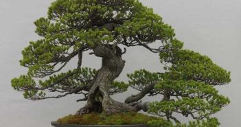 Cura bonsai