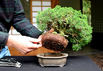 Cura bonsai