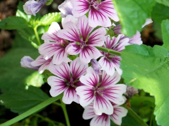 malva con fiori pianta perenne da giardino resistente al caldo