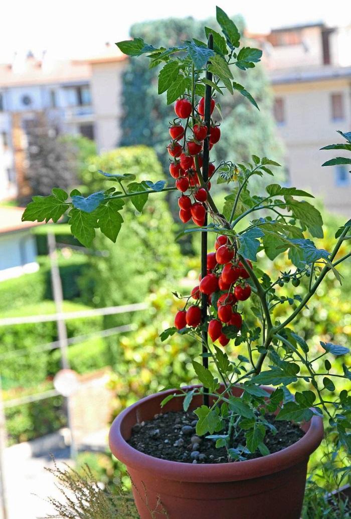 coltivare pomodori in vaso orto sul balcone