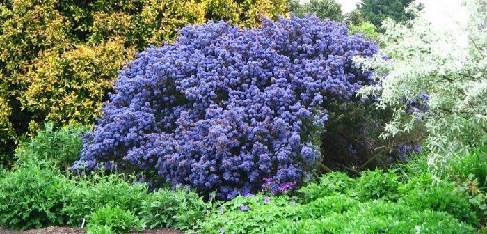 Piante perenni da giardino resistenti tutto l 39 anno - Alberi sempreverdi da giardino ...