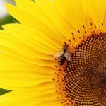 L'UE dice stop a 3 neonicotinoidi dannosi per le api