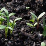 Calendario delle semine: cosa piantare a giugno nell'orto
