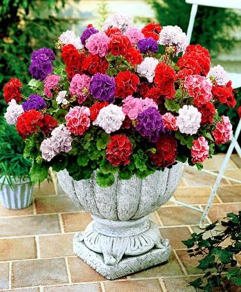 geranio fiori estivi