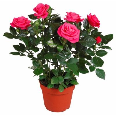 terriccio per rose