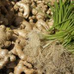 Come coltivare lo zenzero in vaso (e quando raccoglierlo!)