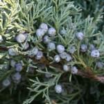 Il Ginepro: come piantarlo, cura e manutenzione