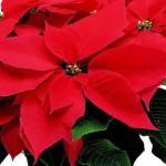 Come curare la stella di Natale