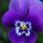 La Viola: particolarità e caratteristiche