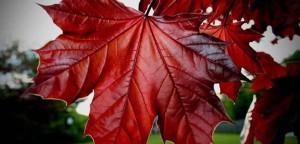 foglia acero rosso