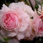 Alla scoperta delle rose antiche