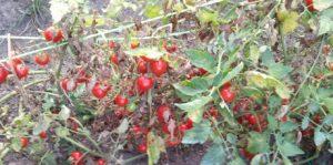 coltivare i pomodori in vaso problemi