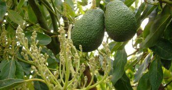 one-avocado foto evidenza