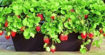 Coltivazione fragole in vaso
