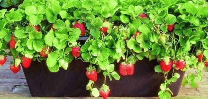 Come coltivare le fragole in vaso giardini nel mondo for Fragole piante in vaso