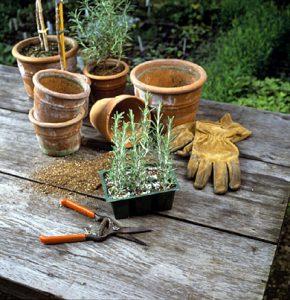 come coltivare rosmarino in vaso