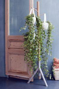 edera rampicante piante rampicanti