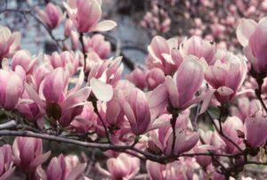 magnolia con fiori rosa pianta sempreverde da giardino