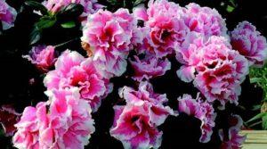 azalea fiori da balcone