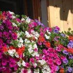 Balconi fioriti: quali varietà di fiori e piante scegliere?