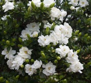 gardenia terrazzo fiorito