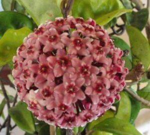 piante rampicanti Hoya carnosa