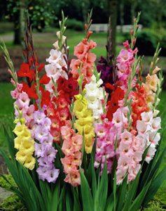 gladiolo fiori estivi