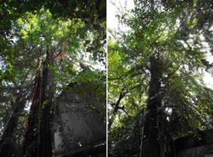 Ginkgo Biloba orto botanico milano brera