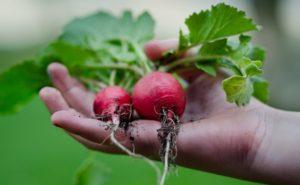 cosa piantare a settembre nell'orto ravanelli