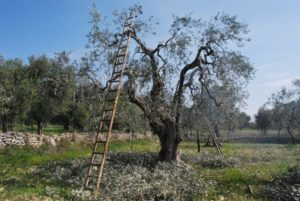 potatura olivo guida