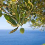 Potatura ulivo: quando e come farla