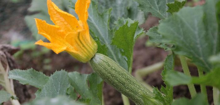 Come coltivare le zucchine nel modo corretto