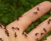 Come eliminare le formiche dal prato: rimedi naturali