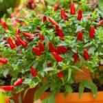 Peperoncino in vaso: come coltivarlo